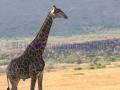 GiraffeWatermark.jpg